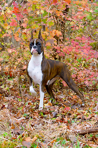 DOG 01 LS0141 01 © Kimball Stock Portrait Of Boxer Standing In Autumn Leaves