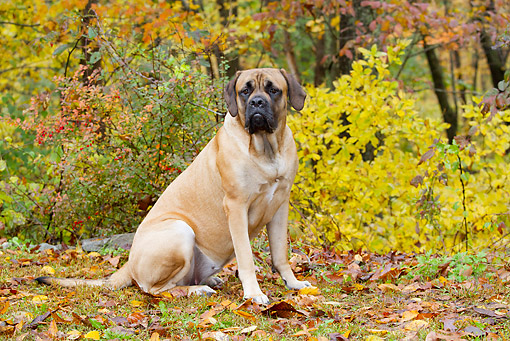 DOG 01 LS0144 01 © Kimball Stock English Mastiff Sitting On Grass In Autumn Woodland
