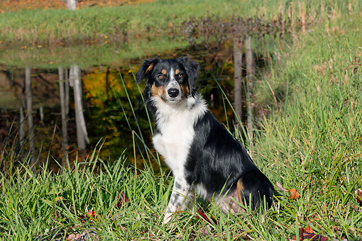 DOG 01 LS0152 01 © Kimball Stock Border Collie Sitting By Pond In Autumn