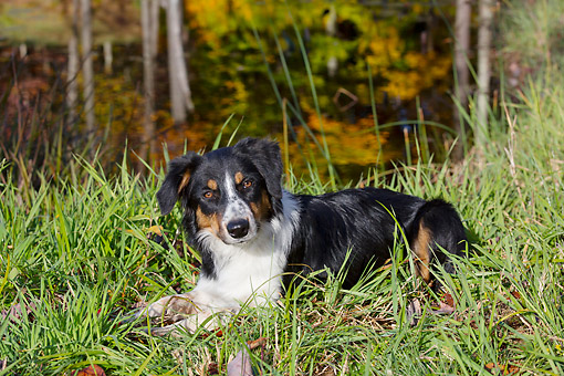 DOG 01 LS0153 01 © Kimball Stock Border Collie Laying On Grass By Pond In Autumn