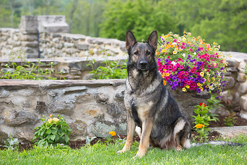 DOG 01 LS0163 01 © Kimball Stock German Shepherd Black And Gray Sitting In Grass By Flowers