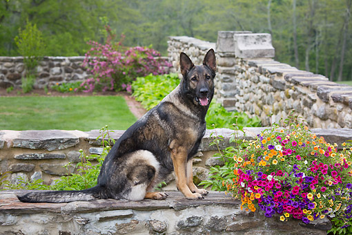 DOG 01 LS0166 01 © Kimball Stock German Shepherd Black And Gray Sitting By Flowers