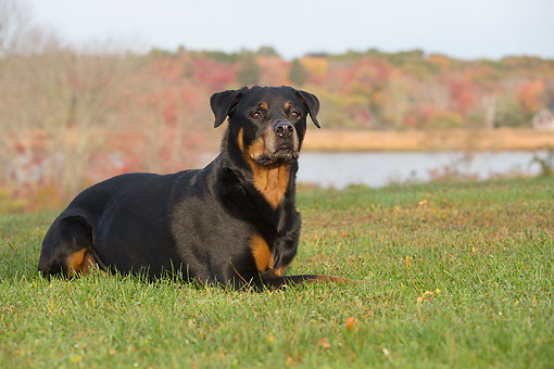 DOG 01 LS0167 01 © Kimball Stock Rottweiler Laying On Grass Overlooking Salt Marsh, Waterford, Connecticut
