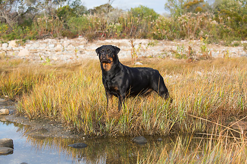 DOG 01 LS0168 01 © Kimball Stock Rottweiler Laying On Grass Overlooking Salt Marsh, Waterford, Connecticut