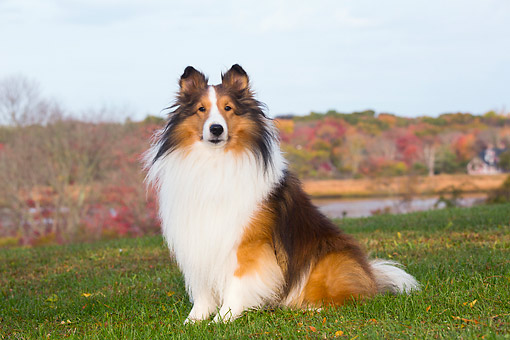 DOG 01 LS0170 01 © Kimball Stock Shetland Sheepdog Sitting In Grass By Salt Marsh In Autumn, Waterford, Connecticut