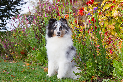 DOG 01 LS0171 01 © Kimball Stock Shetland Sheepdog Sitting In Grass By Flowers