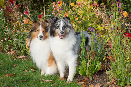DOG 01 LS0172 01 © Kimball Stock Shetland Sheepdogs Standing In Grass By Flowers