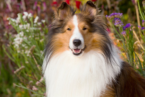 DOG 01 LS0173 01 © Kimball Stock Shetland Sheepdog Portrait In Grass By Flowers