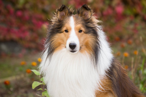 DOG 01 LS0174 01 © Kimball Stock Shetland Sheepdog Portrait In Grass By Flowers