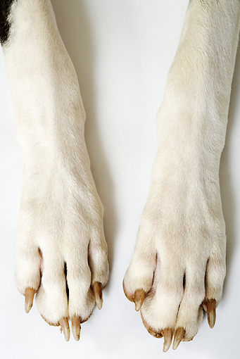 DOG 01 MH0001 01 © Kimball Stock Close-Up Of Great Dane's Front Paws On White Seamless