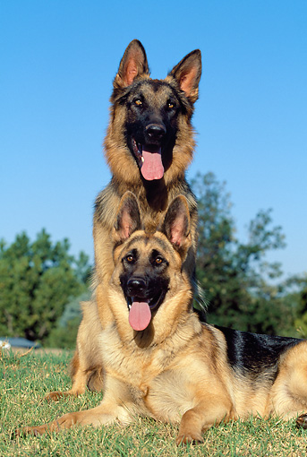 DOG 01 MH0002 01 © Kimball Stock Portrait Of Two German Shepherds On Grass
