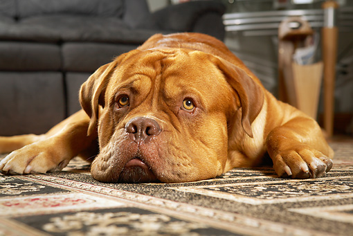 DOG 01 MQ0017 01 © Kimball Stock Close-Up Of Dogue de Bordeaux Resting On Rug