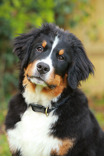 DOG 01 NR0037 01 © Kimball Stock Head Shot Of Bernese Mountain Dog Sitting