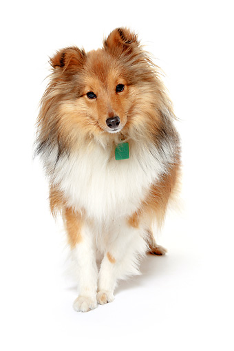 DOG 01 NR0038 01 © Kimball Stock Shetland Sheepdog Standing On White Seamless