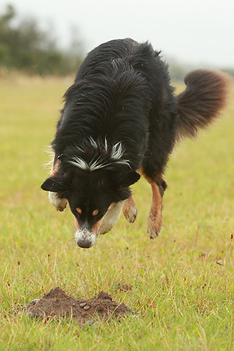 DOG 01 NR0045 01 © Kimball Stock Border Collie Jumping On Grass Pouncing Dirt Mound