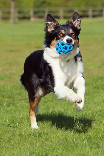 DOG 01 NR0046 01 © Kimball Stock Border Collie Running On Grass Carrying Toy