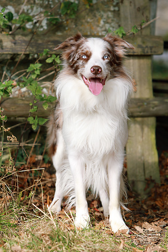 DOG 01 NR0055 01 © Kimball Stock Border Collie Standing By Wooden Fence