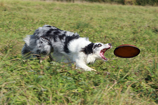 DOG 01 NR0056 01 © Kimball Stock Border Collie Catching Frisbee On Grass Field