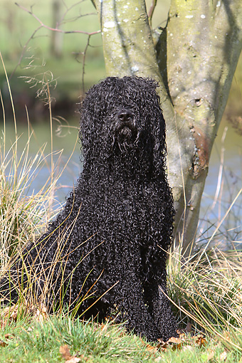 DOG 01 NR0064 01 © Kimball Stock Portuguese Water Dog Sitting On Grass By Lake And Tree