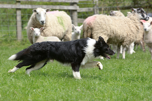 DOG 01 NR0070 01 © Kimball Stock Border Collie Herding Sheep In Pasture