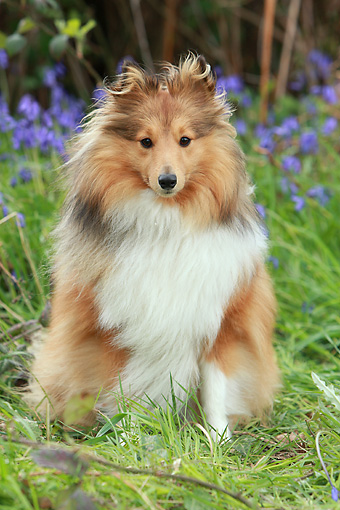 DOG 01 NR0071 01 © Kimball Stock Shetland Sheepdog Sitting On Grass By Violet Flowers