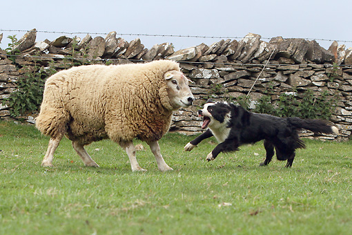 DOG 01 NR0074 01 © Kimball Stock Border Collie Herding Sheep In Pasture