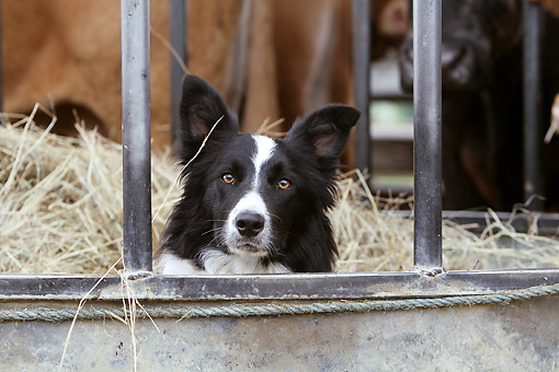 DOG 01 NR0075 01 © Kimball Stock Border Collie Sitting In Hay