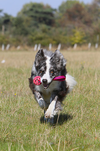 DOG 01 NR0083 01 © Kimball Stock Border Collie Running Through Field With Toy