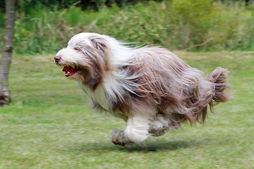 DOG 01 NR0084 01 © Kimball Stock Bearded Collie Running Through Field Profile