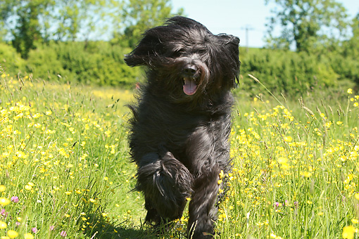 DOG 01 NR0085 01 © Kimball Stock Briard Running Through Meadow Of Wildflowers