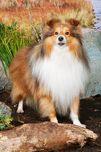 DOG 01 NR0087 01 © Kimball Stock Shetland Sheepdog Standing On Dirt By Pond And Grass