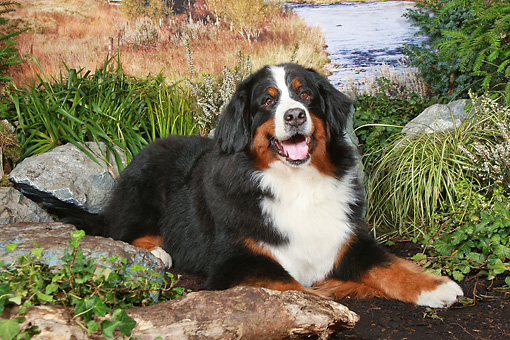 DOG 01 NR0088 01 © Kimball Stock Bernese Mountain Dog Laying On Dirt By Pond