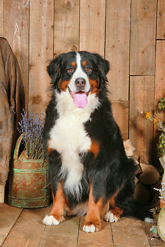 DOG 01 NR0090 01 © Kimball Stock Bernese Mountain Dog Sitting On Wood Floor By Dried Flowers