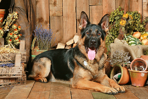 DOG 01 NR0092 01 © Kimball Stock German Shepherd Laying On Wood Floor By Dried Flowers
