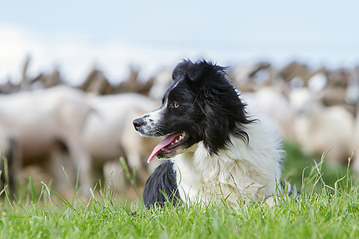 DOG 01 NR0101 01 © Kimball Stock Border Collie Laying In Pasture With Sheep In Background