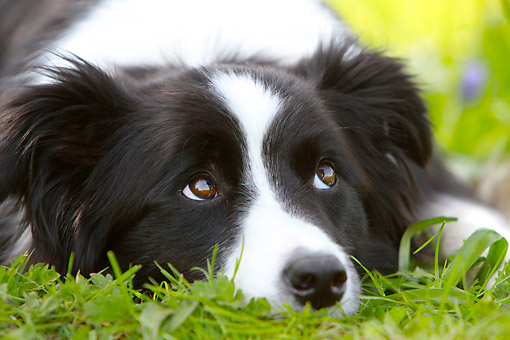 DOG 01 NR0119 01 © Kimball Stock Border Collie Laying In Grass And Looking Up