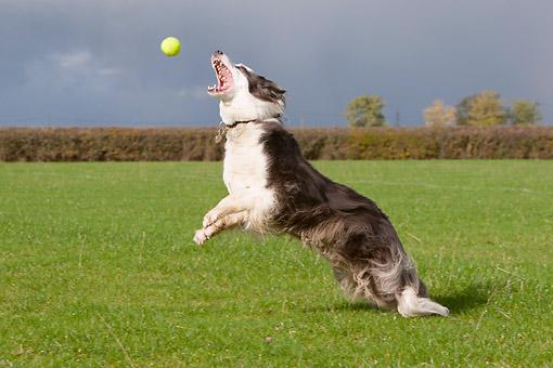 Border Collie Jumping For Tennis Ball Kimballstock