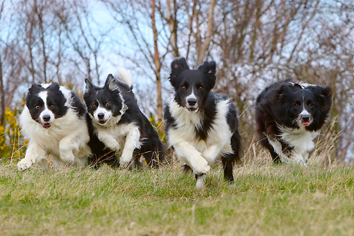 DOG 01 NR0133 01 © Kimball Stock Border Collies Running Through Grass