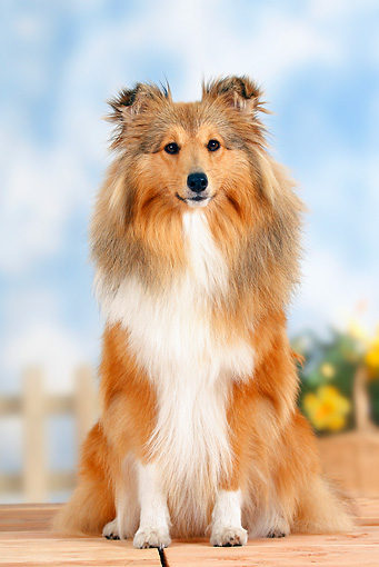 DOG 01 PE0001 01 © Kimball Stock Shetland Sheepdog Sitting By Fence And Yellow Flowers