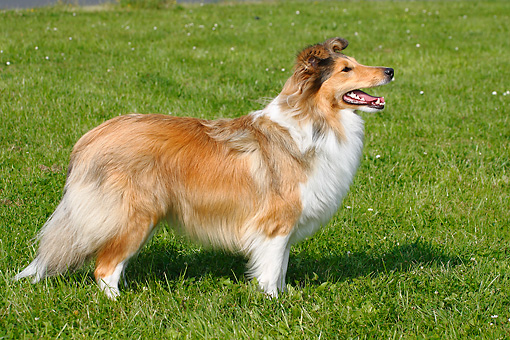 DOG 01 PE0008 01 © Kimball Stock Shetland Sheepdog Standing In Grass Field Profile