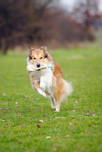 DOG 01 PE0012 01 © Kimball Stock Rough Collie Retrieving Foodbag On Grass Field