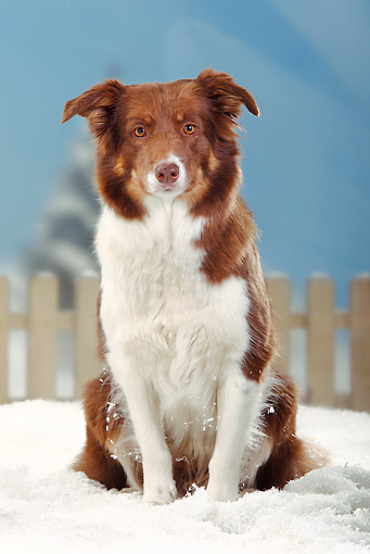 DOG 01 PE0014 01 © Kimball Stock Border Collie Sitting In Snow By Fence
