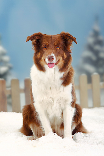 DOG 01 PE0015 01 © Kimball Stock Border Collie Sitting In Snow By Fence
