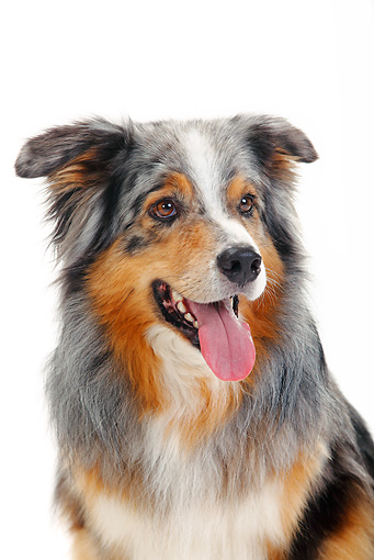DOG 01 PE0018 01 © Kimball Stock Head Shot Of Australian Shepherd On White Seamless