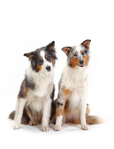 DOG 01 PE0020 01 © Kimball Stock Two Australian Shepherds Sitting On White Seamless