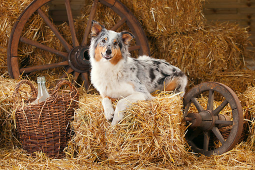 DOG 01 PE0029 01 © Kimball Stock Australian Shepherd Laying On Hay Bale By Old Wheels