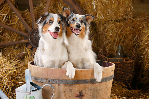 DOG 01 PE0031 01 © Kimball Stock Two Australian Shepherds Sitting In Barrel On Hay