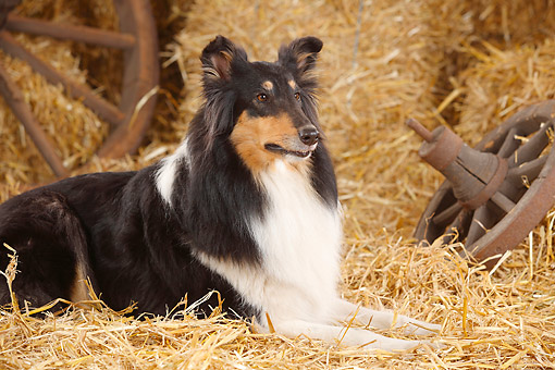 DOG 01 PE0033 01 © Kimball Stock Rough Collie Laying On Hay By Old Wheel
