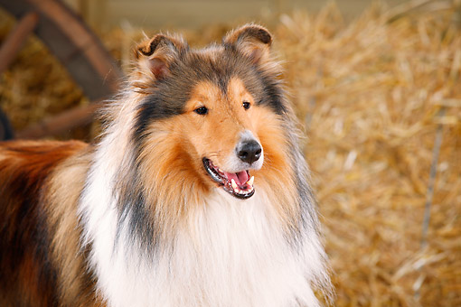 DOG 01 PE0034 01 © Kimball Stock Close-Up Of Rough Collie By Hay