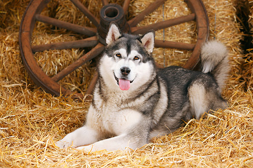 DOG 01 PE0035 01 © Kimball Stock Alaskan Malamute Laying On Hay By Old Wheels